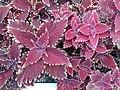 HK 尖沙咀 TST 廣東道 Canton Road flora red purple leaves March 2020 SS2 02.jpg