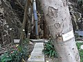 HK Ap Lei Chau Wind Tower Park 鴨脷洲風之谷公園 tree trunk 血桐 Macaranga tanarius April-2012.JPG
