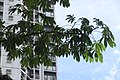 HK CWB 高士威道 Causeway Bay Road 維多利亞公園 Victoria Park tree Sept 2017 IX1 吉貝 Ceiba pentandra palm compound leaves 02.jpg