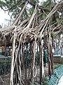 HK SW 上環 Sheung Wan卜公花園 Blake Garden 老榕樹 Chinese banyan tree 氣根 root n trunk February 2020 SS2 01.jpg
