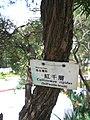 HK Sunday Wan Chai Park Myrtaceae Callistemon rigidus Stiff Bottle-brush 1.JPG