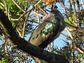 Hadada ibis Bostrychia hagedash Tanzania 0190 cropped Nevit.jpg