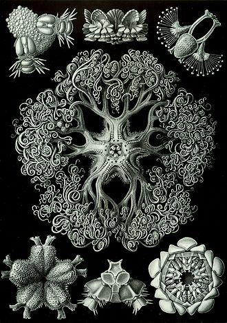 Brittle star - Second plate of brittle stars from Haeckel