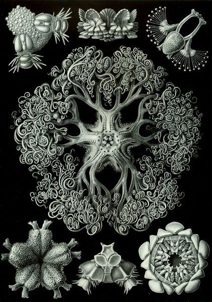 File:Haeckel Ophiodea 70.jpg