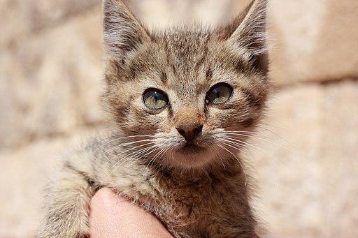 Panleucopenia felina - Cause - Sintomi - Cura
