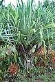 Hala (Pandanus tectorius).jpg