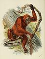 Handbook to the Primates Plate 39.jpg