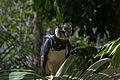 Harpy Eagle (Harpia harpyja).jpg