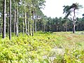 Heathland, Ockham Common - geograph.org.uk - 933817.jpg
