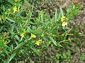 Heimia salicifolia (21065822286).jpg
