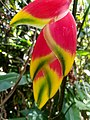 Heliconia rostrata flower 03.jpg