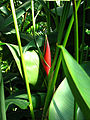 Heliconia sp. 01.JPG