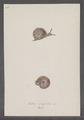 Helix lapicida - - Print - Iconographia Zoologica - Special Collections University of Amsterdam - UBAINV0274 089 01 0063.tif