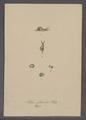 Helix pellucida - - Print - Iconographia Zoologica - Special Collections University of Amsterdam - UBAINV0274 089 01 0096.tif