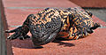 Heloderma suspectum -Arizona-Sonora Desert Museum-8f.jpg