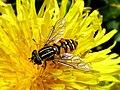 Helophilus pendulus (Hoverfly sp.), Elst (Gld), the Netherlands.jpg