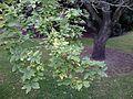 Hemiptelea davidii. Royal Botanic Gardens, Edinburgh (4).jpg