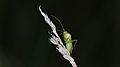 Hemipteran - Guelph, Ontario 13.jpg