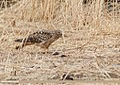 Hen Harrier (Circus cyaneus) (45712049365).jpg