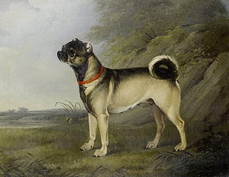 Pug - A favourite Pug bitch depicted in 1802, by Henry Bernard Chalon