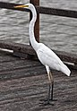 Henry the Great Egret on Woody Point Jetty-2 (5567076105).jpg