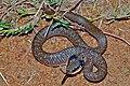 Herald Snake (Crotaphopeltis hotamboeia) (6888666734).jpg