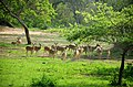 Herd of Ceylon spotted deer by Prarthana Mahipala.jpg