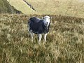 Herdwick sheep - geograph.org.uk - 1547044.jpg