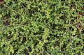 Herniaria ciliolata - Jardin des Plantes.jpg