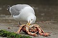 Herring Gull & Crab (7489526950).jpg