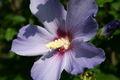 Hibiscus bleu 3.jpg