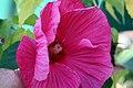 Hibiscus x moscheutos Grenache 0zz.jpg