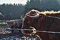 Highland cattle in Fagne Tirifaye, Waimes, Belgium (VeloTour intersection 80, DSCF3633).jpg