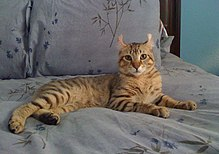 List of experimental cat breeds - Wikipedia