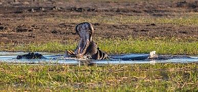 Hipopótamo (Hippopotamus amphibius), parque nacional de Chobe, Botsuana, 2018-07-28, DD 78.jpg