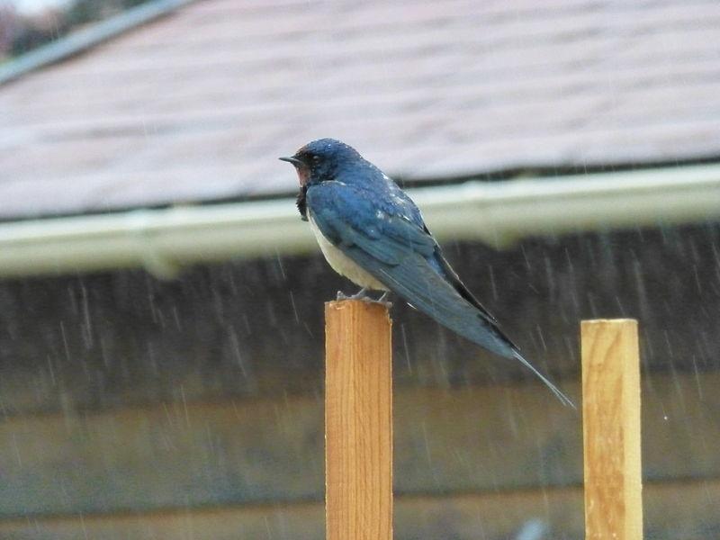 Rural swallow in the rain