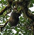 Hoffman's Two-toed Sloth, Monteverde.jpg