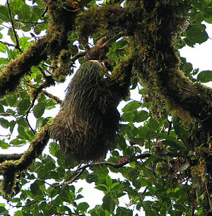 Hoffmann's two-toed sloth - C. h. hoffmanni, high in Monteverde canopy