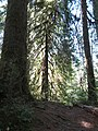 Hoh Rainforest - Olympic National Park - Washington State (9780189395).jpg