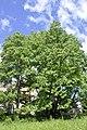 Hollenegg Tulpenbaum.JPG
