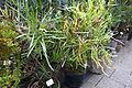 Homalocladium platycladum - Botanischer Garten, Dresden, Germany - DSC08460.JPG