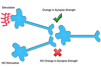 Homosynaptic plasticity - In homosynaptic plasticity, only neurons that are specifically innervated undergo changes in synaptic plasticity