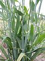 Hordeum vulgare (hooded 2-row barley) (21863305522).jpg