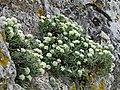Hormathophylla spinosa 001.JPG