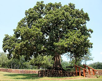 Quercus stellata - The Houston Campsite Oak in Grapevine Springs Preserve, Coppell, Texas