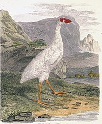 HowePurpurhuhn2.jpg