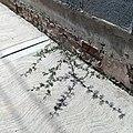 Huizache (Vachellia farnesiana) creciendo en una acera.jpg