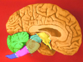 Human brain midsagittal cut color2.png
