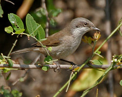 Hume's Lesser Whitethroat (Sylvia althaea) in Hyderabad, AP W IMG 1441.jpg