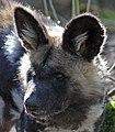 Hunting Dog 3 (16718080725).jpg